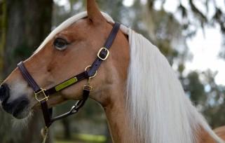 thor the golden pony