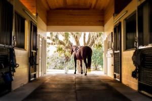 Horse in Stable_Golden_Ocala_2